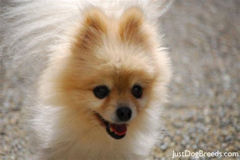 kinds of pomeranian dogs pomeranian breed breeds picture