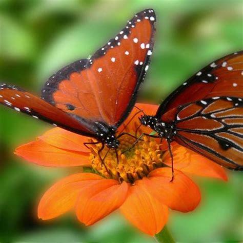 sfondi desktop fiori e farfalle due farfalle su un fiore macro hd sfondo wallpaper list