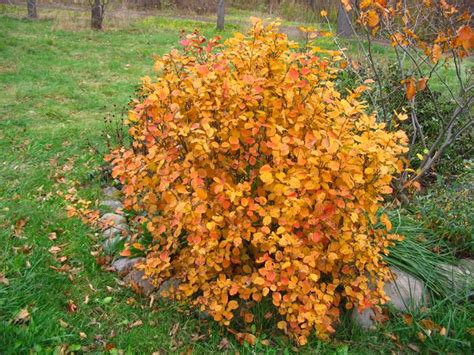 witch alder fothergilla spp one of the best shrubs for fall color favorite plants
