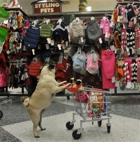 shoo for pugs pug shop pugs and other snub noses