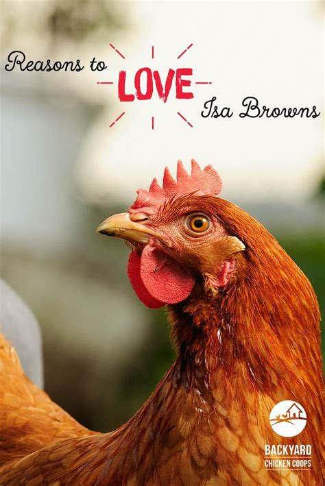 isa brown chickens images  pinterest chicken