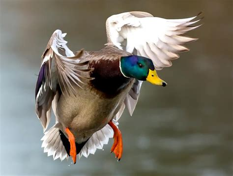 how to a to duck hunt how to duck hunt i waterfowl