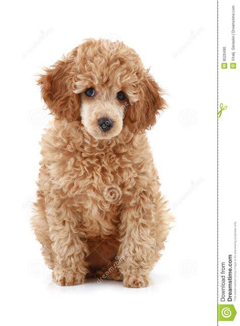 apricot poodle puppy apricot poodle puppy series stock photo image 8520490