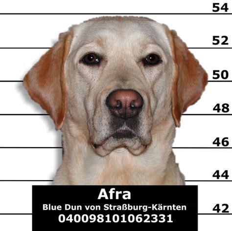 labrador names black yellow and chocolate lab names for your labrador retriever our pets we em
