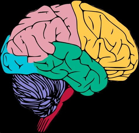 brain clipart human brain clipart 101 clip art
