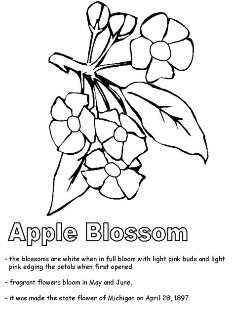 coloring pages of apple blossoms apple blossom coloring page