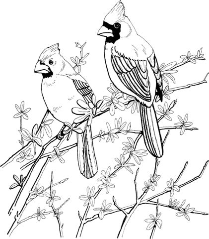 two red cardinals coloring page supercoloring com