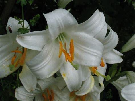 fiore con la s lilium candidum specie della flora italiana