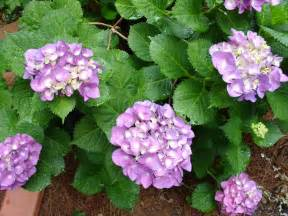 how to care for hydrangeas hgtv