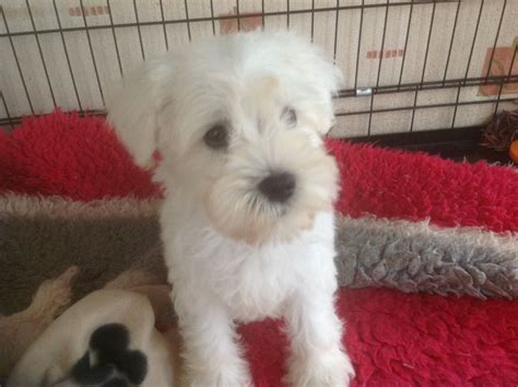 white miniature schnauzer puppies for sale beautiful white mini schnauzer puppy stanford le essex pets4homes