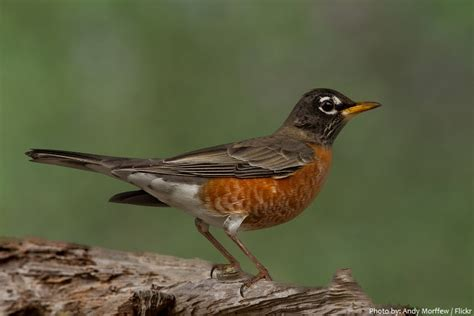 interesting facts about american robins just fun facts
