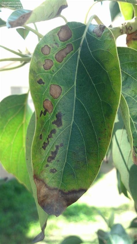 garden pests  diseases spots  avocado tree leaves