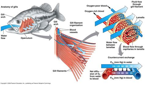 diagram of a bony fish bony fish respiratory system