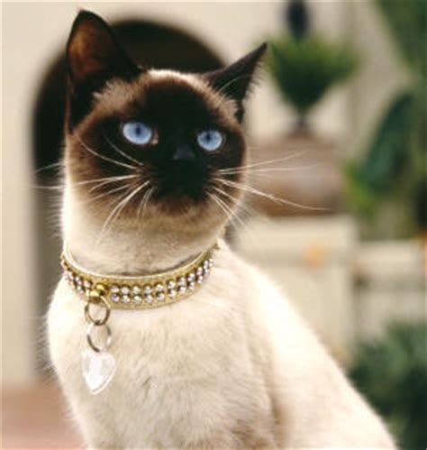 Siamese Cats Breed   Cat Information & Pictures