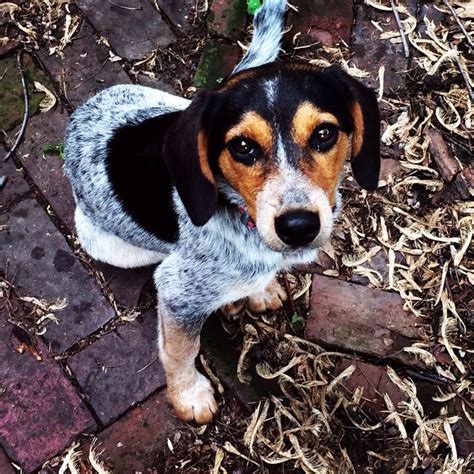 blue heeler pug mix 1000 ideas about beagle mix on puppies chihuahua mix and lab mixes