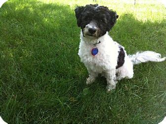 havanese rescue pa wishbone adopted mount gretna pa havanese poodle miniature mix
