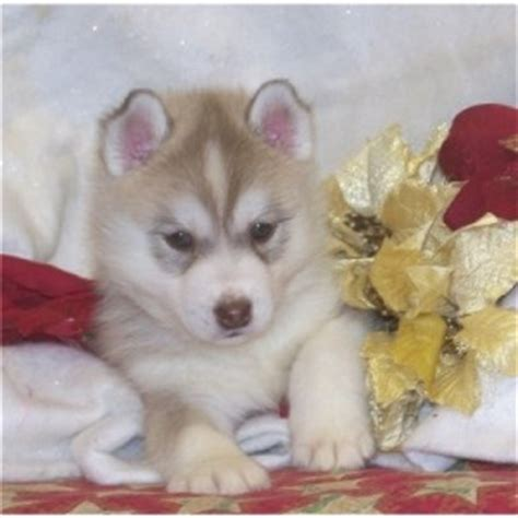 pomsky puppies for sale in mn for sale in bay area to pomsky puppies for sale in bay area breeds picture