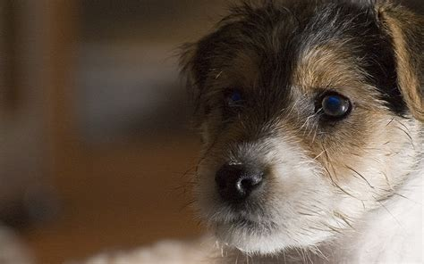puppy imprinting care whelping puppies