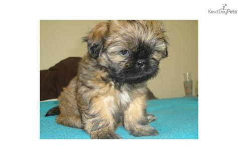 shih tzu puppies for sale ohio white shih tzu puppies for sale in ohio photo breeds picture