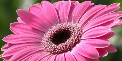 fiore gerbera il linguaggio dei fiori in 5 punti roba da donne