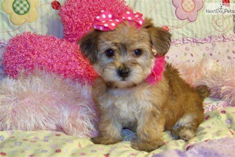 golden yorkie poo yorkie poo puppies golden yorkiepoo breeds picture