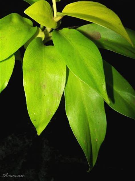 Philodenron Lemon philodendron lemon lime