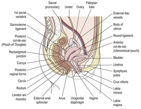 sagittal section of the female pelvis surgical anatomy obgyn key
