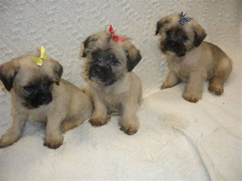 maltese pug stunning maltese x pug puppies for sale salford greater
