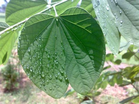 membuat kolase kupu kupu dari daun kembang bauhunia si bunga kupu kupu bibitbunga com