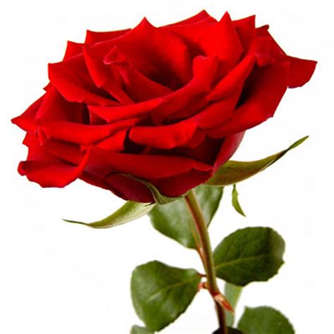 single roses best greetings beautiful greetings with single