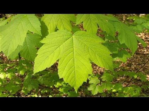 maple tree how fast does it grow fast growing maple trees
