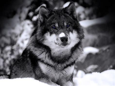 lobo full hd fondo de pantalla and fondo de escritorio lobo animal fondo de pantalla hd fondos de pantalla gratis