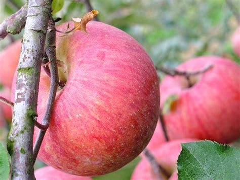 apple korea cheongsong apple festival