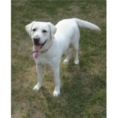 lab puppies iowa labrador retriever lab breeders in iowa freedoglistings