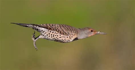 woodpeckers as keystone species birdnote