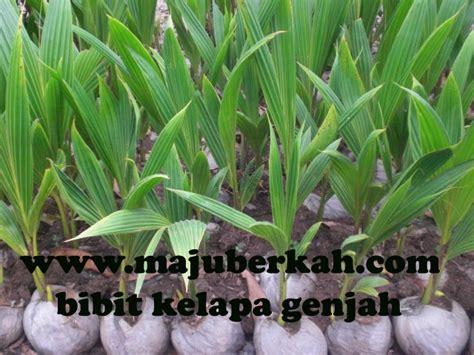 Bibit Kelapa Hibrida jenis jenis bibit kelapa bibit tanaman hibrida bibit