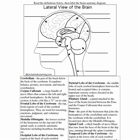 brain diagram worksheet brain diagram worksheet the best and most comprehensive