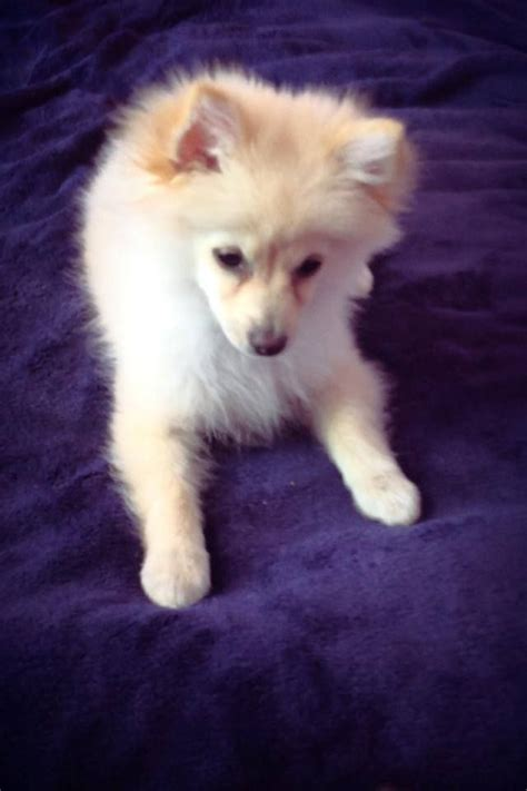 4 month pomeranian puppy white pomeranian puppy 4 months south east pets4homes