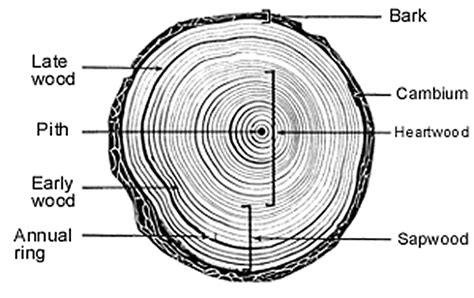 cross section of a tree trunk emerald ash borer in indiana from purdue entomology
