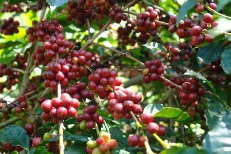 kopi arabika bajawa kopi asal ngada flores  mendunia