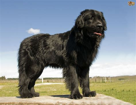 new foundland the large and lovely newfoundland pets4homes