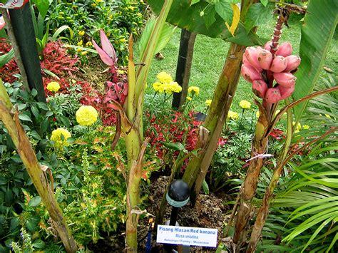 Benih Pisang Cavendish Malaysia raingers jenis2 pisang