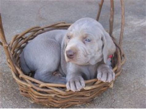 weimaraner puppies for sale in nc weimaraner puppies in carolina