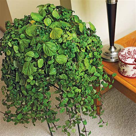 cascading indoor plants комнатные растения неприхотливые с красивыми листьями и