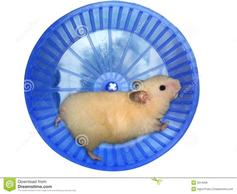 Wheels Exercise X8 Kincir Hamster Mencit hamster in a wheel royalty free stock images image 3314299