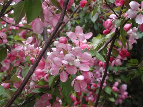 Wedding Bouquet Crabapple Tree by Makamik Crab Apple Trees Chris Bowers