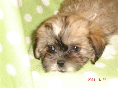 half shih tzu half chihuahua puppies pin half shih tzu and chihuahua generation cross on