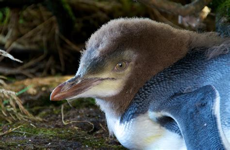 Yellow-eyed penguin/hoiho: Sea and shore birds
