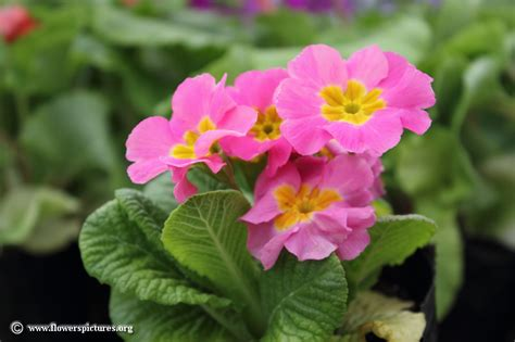 Picture Flowers primula flower picture 17