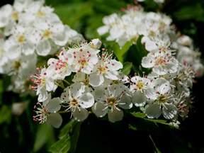 trees with white flowers tree identification crataegus laevigata hawthorn
